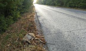 Автомобил уби млад сръндак на Шуменското плато
