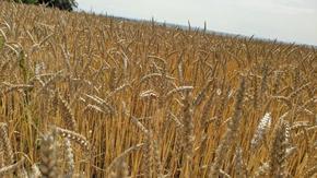 Повече ечемик и жито жънат стопаните в Шуменско тази година