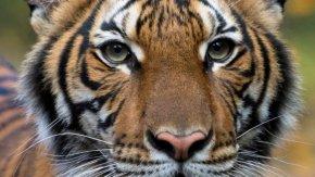 Тигър e заболял от вируса след заразяване от човек