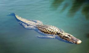 Обясниха защо крокодилите не са се променили от времето на динозаврите