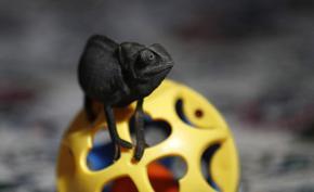 На Мадагаскар откриха нано-хамелеон