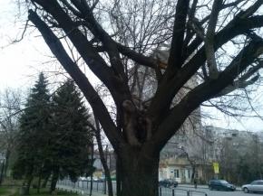 Опасно дърво