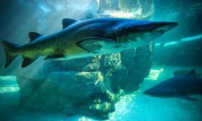 Акулите са застрашен заради ваксината срещу COVID-19