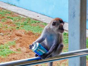 Маймуна-алкохолик ще прекара остатъка от живота си зад решетките