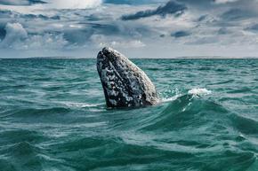 Рядък феномен: Забелязаха сив кит да плува край италианския бряг