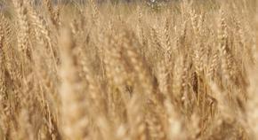 В Шуменско прибраха и пшеницата, добивът е 302 кг от декар