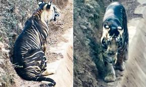 Фотограф засне черен тигър, в света има само 7 такива