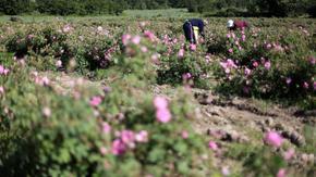 Танева обеща производителите на рози първи да получат помощ с европари