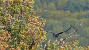 За първи път от четвърт век в България лети излюпен на свобода черен лешояд