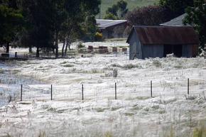 Паяци покриха австралийски щат с огромни паяжини