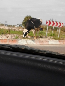 Крава на кръговото в деня на изборите