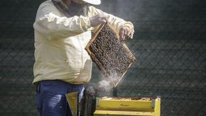Градският транспорт във Виена настанява 2 млн. пчели в зелените си площи