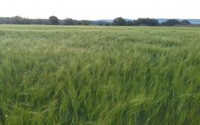 Обследваха есенниците в Шуменско, пшеницата и ечемикът с влошено качество