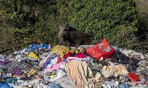 Диви прасета тероризират жителите на Рим, хората разделени