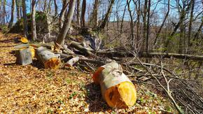 Отново незаконен добив на дърва хванаха горските