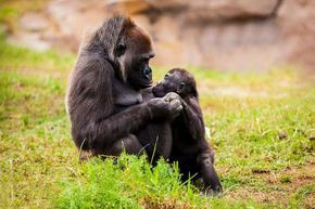 Горили, родени в плен, се сдобиха с рожба в естествена среда