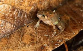 Биолози откриха непознат вид диамантена жаба в Мадагаскар