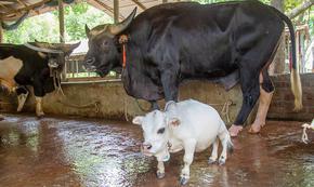 Посмъртно крава-джудже влезе в Книгата на рекордите на Гинес