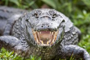 Крокодил погълна дрон