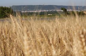 Прибраха 75% от ечемика и 25% от пшеницата в Шуменско, добивите по-ниски от реколта 2019
