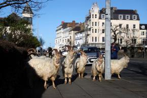 Козите отново превзеха уелския град Ландидно