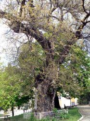 """Вековна черница от Велики Преслав е сред финалистите в конкурса """"Дърво с корен 2011"""""""