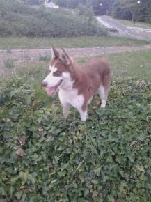 Изгубено куче!