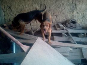 Изгубено ловджийско куче
