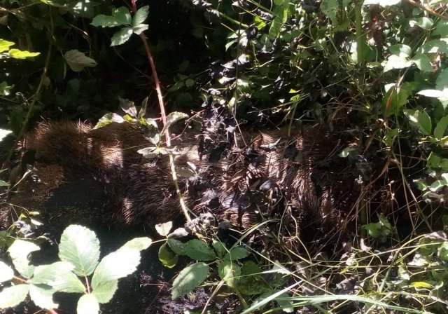 Едно от намерените диви прасета, Снимка: СИДП